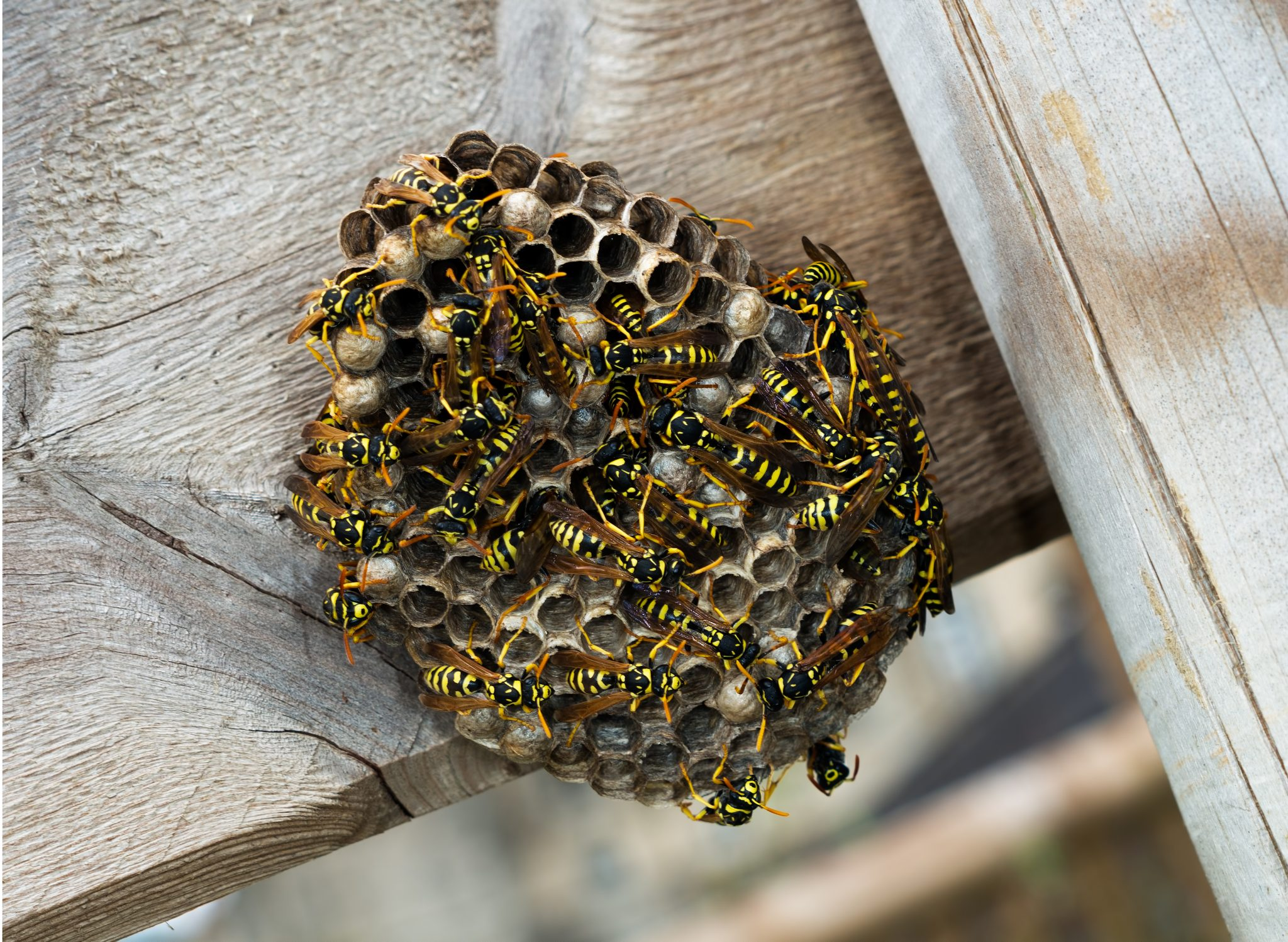 Wasps  Watch Out This Summer